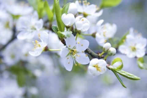 Як посадити яблуню навесні?