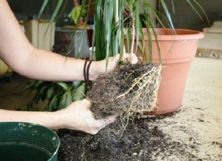 Як правильно пересаджувати кімнатні рослини