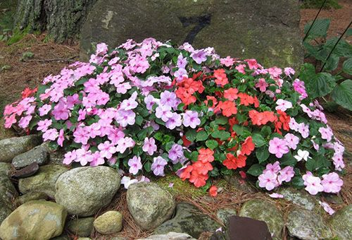 Як правильно посадити бальзамін у відкритому грунті, і який догляд потрібно квітці?