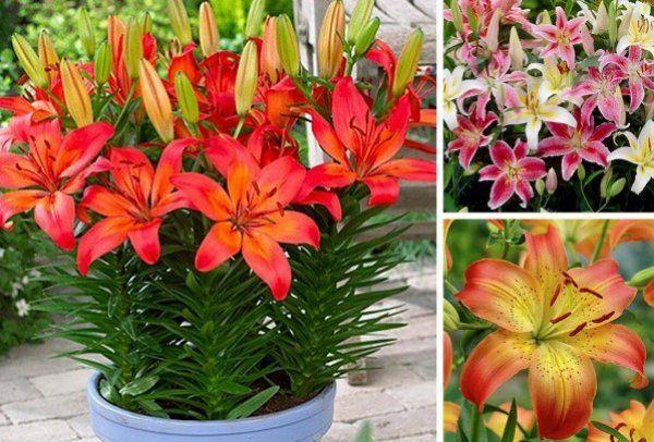 Цвітіння лілії в кімнатних умовах