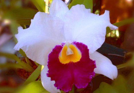 Як правильно доглядати за орхідеєю виду каттлея