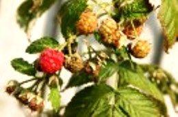 Квіти і ягоди на дачі