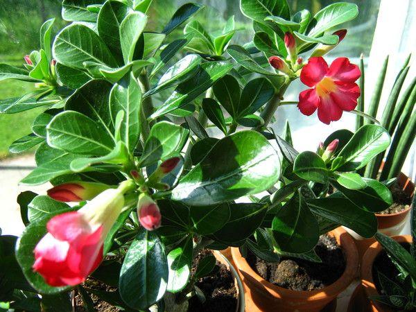 Купила вечноцветущую бегонію.пересаділа і вона тут же погібла.очень хочу виростити вдома