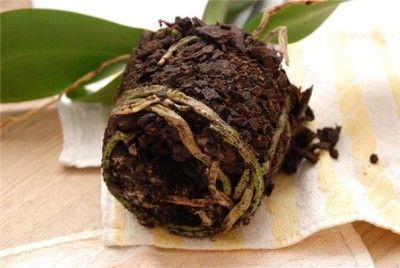 У орхідеї згнили коріння як врятувати