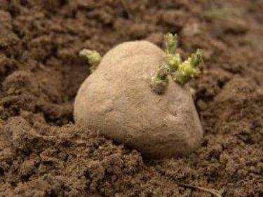 Як зберегти елітні здорове насіння картоплі до посадки