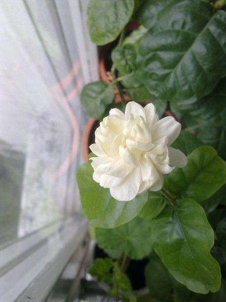Як доглядати за домашнім рослиною жасмин