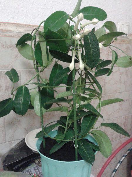 У кого є стефанотис, він цвіте у вас в домашніх умовах? Чи не вибаглива рослина?
