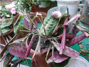 Домашні квіти маранта - для досвідчених і наполегливих квітникарів