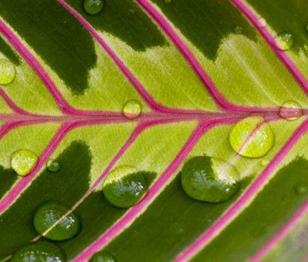 Орисківаніе дуже важливий елемент вирощування маранти