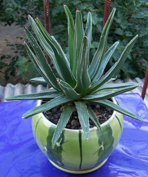 У кого небудь росте агава королеви вікторії? Можна фото? Тільки не з інету