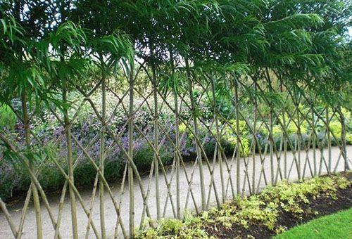 Решітка з живого бамбука