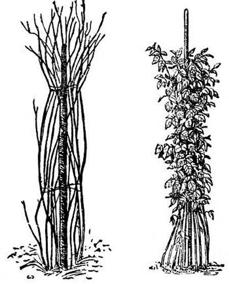 вирощування малини з насіння