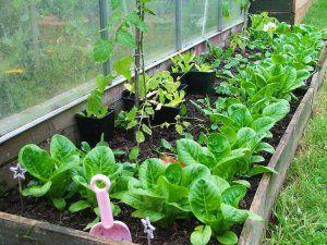 Які овочі вирощувати в теплиці?