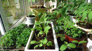 Розсада овочів для зимового вирощування