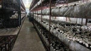 Як вирощувати гриби в теплиці?