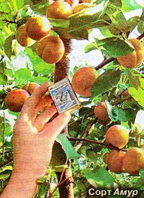 Як вирас абрикоси з кісточок