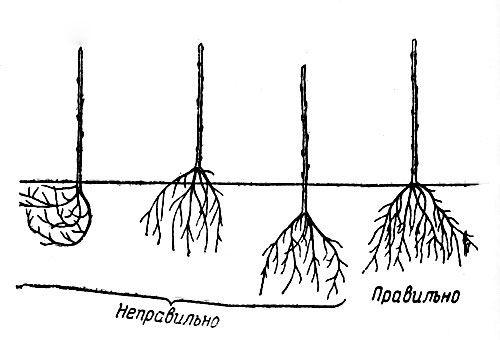 вирощування саджанців черешні правильно