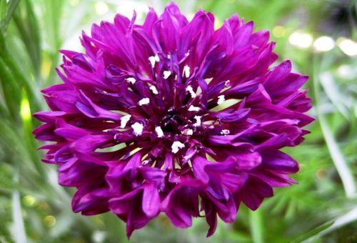 Як виростити з насіння волошка махровий і чи потрібен рослині особливий догляд?