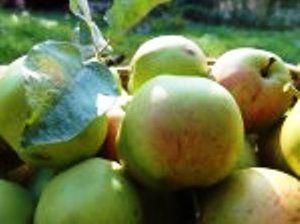 Як виростити яблуню з насіння