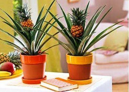 виростити ананас