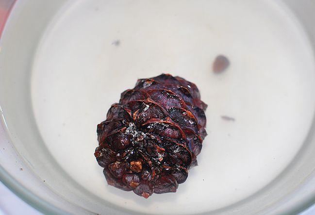 Як виростити кедр з насіння, опис, фото