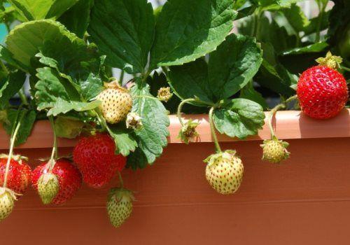 Як виростити полуницю на балконі в домашніх умовах