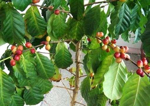Як виростити каву з зерен будинку