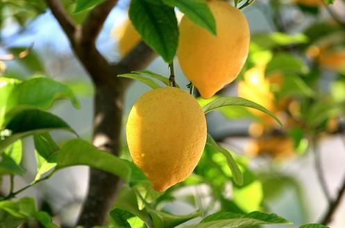 лимонне дерево