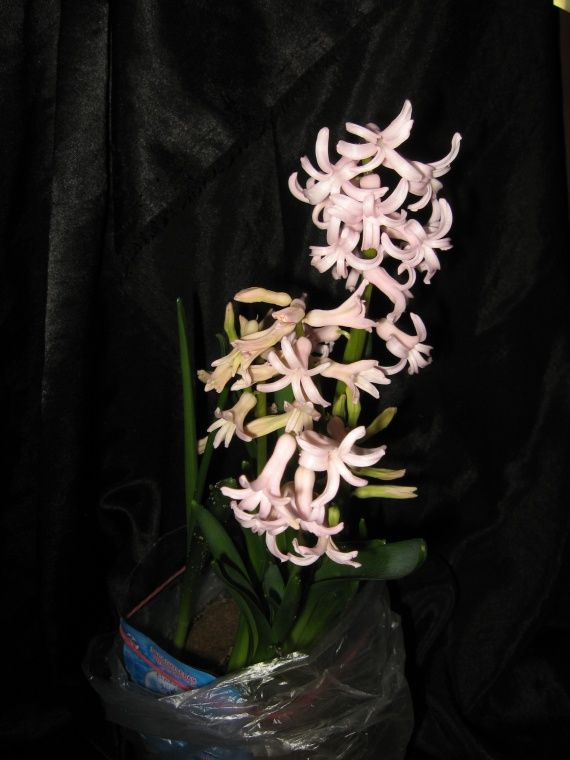 цвітіння гіацинта в квартирі