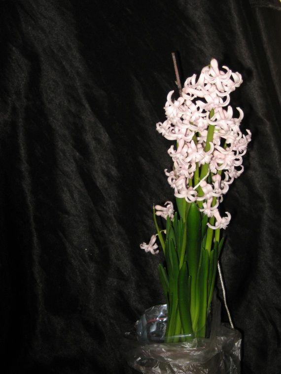 гіацинт цвіте на підвіконні будинку