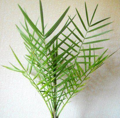 Як виростити справжню фінікову пальму в домашніх умовах?