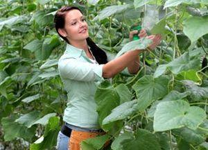 Як виростити огірки в теплиці