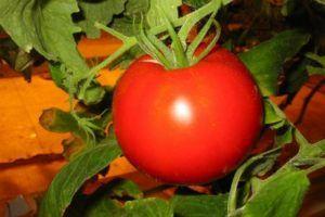 Як виростити ранньостиглий томат «ураган f1»: опис, фото і характеристика сорту