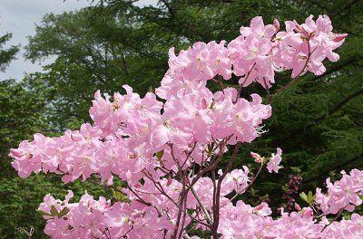 Як виростити рододендрон шлиппенбаха з насіння? Догляд та фото