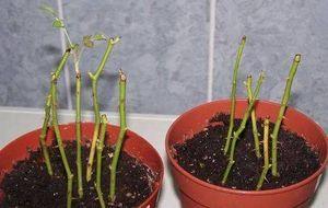 Як виростити троянду з живців: кращі способи