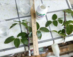 вирощування троянд з живців