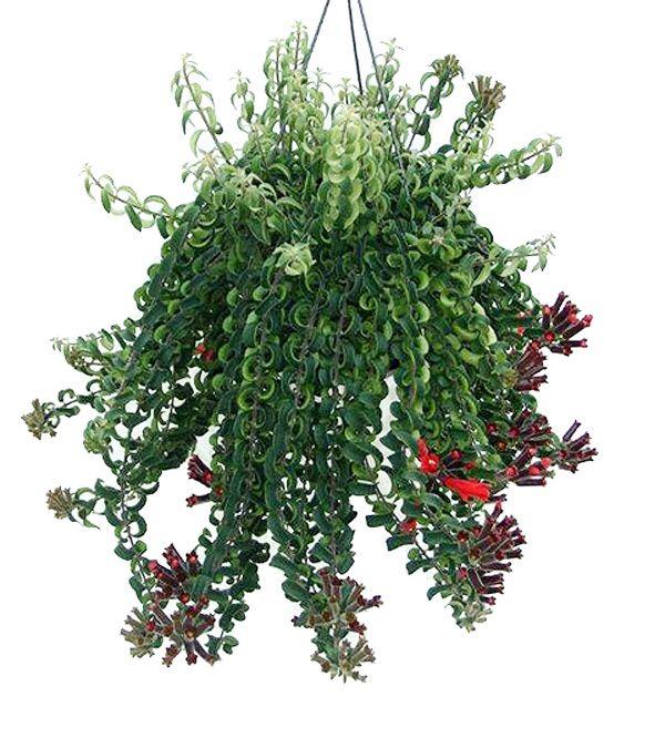 Як змусити есхінантуса добре рости і регулярно цвісти в домашніх умовах?
