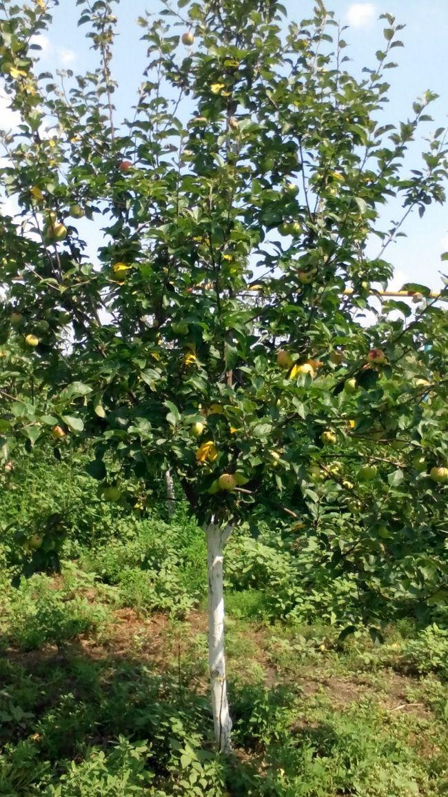 Які добрива для плодових дерев ви використовуєте восени?