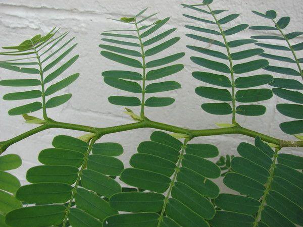 Від кого є рослини з листям схожі на акацію або мімозу