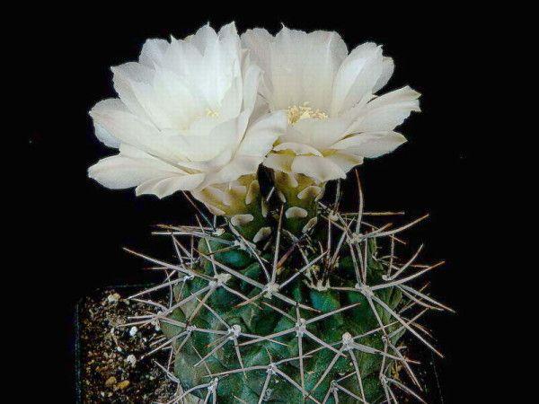 гимнокалициума цвітіння