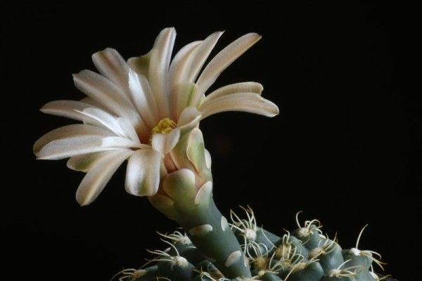 Кактус гимнокалициума фото