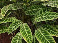 Калатея - рослина з «красивими листочками» радує око