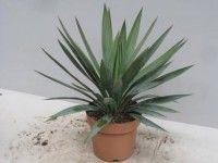 догляд за пальмою юкою в домашніх умовах