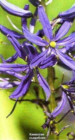 Камассия - синя лілія, агротехніка камассии