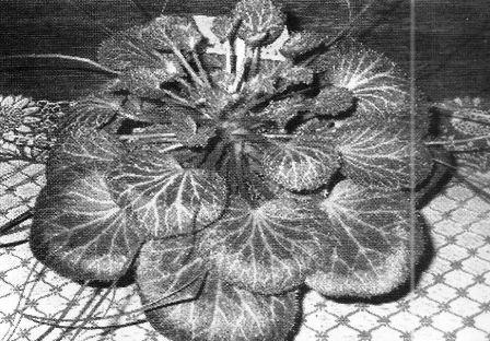 Кам`яна квітка, або ломикамінь при гіпертонії та інших хворобах, рецепти приготування ліків