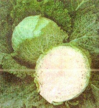 Капуста савойська, її поживні, дієтичні і лікувальні властивості