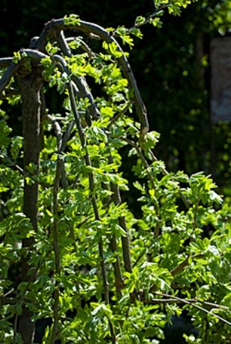 Карагана, російська акація, ботанічна характеристика, карагана в дизайні саду