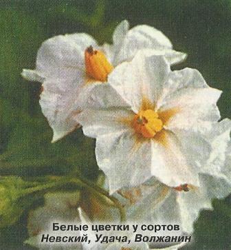 Картопля: 100 років російської селекції, кращі сорти картоплі