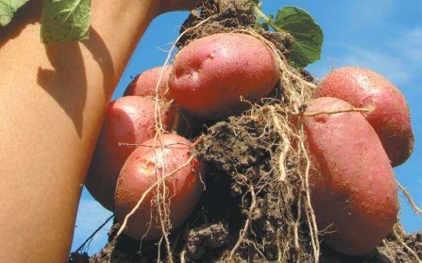 Фото сорти картоплі Ароза