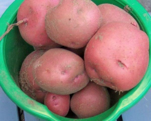 Картопля сорту Ароза: фото і опис